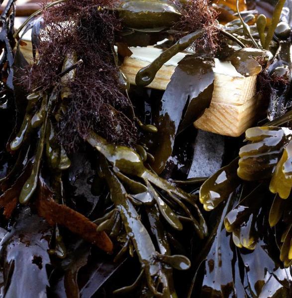 organic kelp seaweed shampoo soap bar